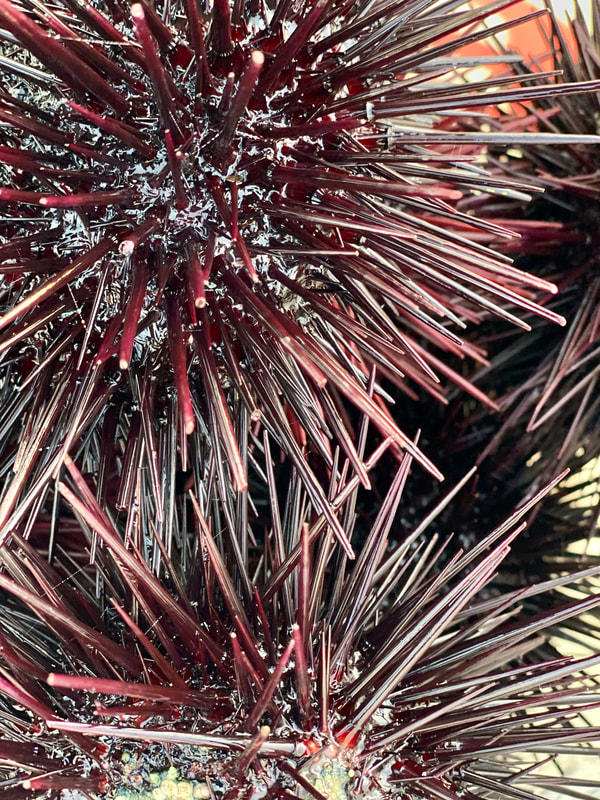 Sea urchin for sale, buy sea urchin, sea urchin near me, where to buy sea urchin near me, live sea urchin for sale, Santa Barbara sea urchin, where can i buy sea urchin, fresh sea urchin near me, uni for sale near me, sea urchin market